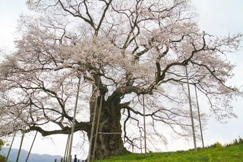 醍醐桜2016見頃の時期やライトアップ期間、駐車場や混雑、アクセス情報!