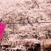 目黒川の桜、見頃の時期やライトアップ時間、駐車場や混雑、宿泊場所はこれ!