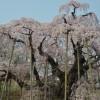 三春の滝桜2016見頃の時期やアクセス情報、駐車場や見どころ!