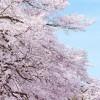 白石川堤一目千本桜見頃やライトアップ時間、駐車場や混雑情報!