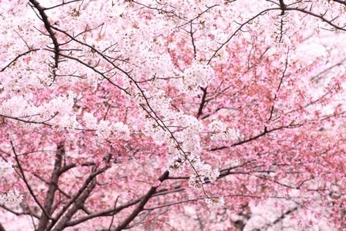 立岡自然公園、桜の見頃や開園時間、駐車場や最寄り駅、コンビニ場所情報