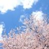 本土寺の桜の見頃や開園時間、入場料や場所、駐車場や最寄り駅情報!