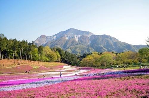 秩父羊山公園芝桜2016見頃や入園時間、入場料や駐車場アクセス情報!