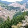 吉野山の桜2016見頃の時期や場所、駐車場や最寄り駅、混雑、アクセス情報!