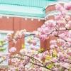 大阪造幣局桜の通り抜け2016見頃やライトアップ時間、駐車場や混雑情報