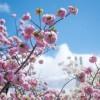 広島の造幣局で開催される桜のまわりみち見頃やライトアップ時間、駐車場や混雑情報