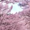 淀川河川公園の桜2016見頃の時期や桜祭り期間、駐車場や混雑情報!
