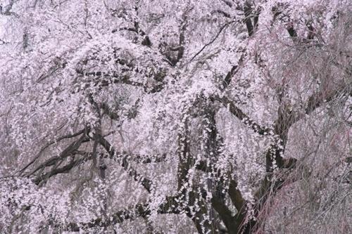 六義園の桜、見頃の時期やライトアップ時間、駐車場や混雑情報!