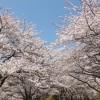 伊豆高原桜並木2016見頃の時期や駐車場、最寄り駅、アクセス情報!
