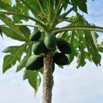 アフリカンマンゴーが食欲を抑えてダイエットに効く?効果や副作用は?